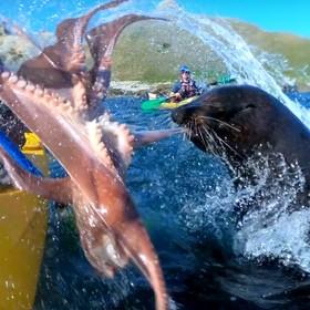 Foka spoliczkowała kajakarza ośmiornicą [WIDEO]
