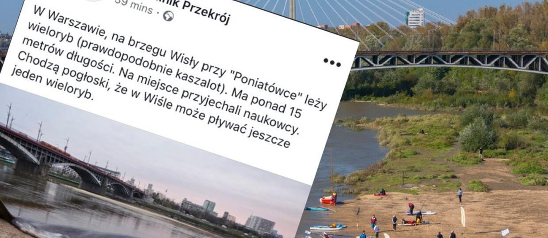 Na plaży w Warszawie znaleziono martwego wieloryba. Co jeszcze mieszka w Wiśle?