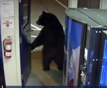 Niedźwiedź otworzył drzwi do komisariatu i wszedł, by szukać jedzenia