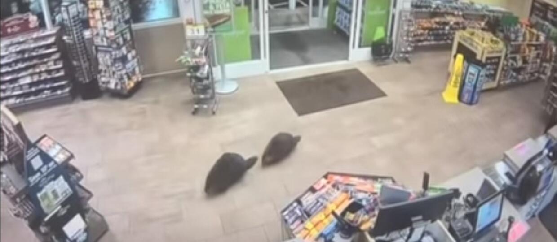 Bobry w sklepie