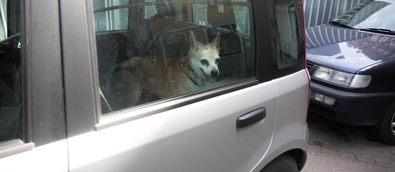 Co zrobić, gdy widzisz psa zamkniętego w samochodzie pozostawionym na słońcu?