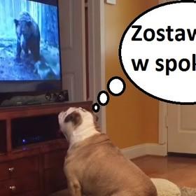 """Buldog chciał ocalić Leonardo DiCaprio przed niedźwiedziem podczas oglądania """"Zjawy"""""""