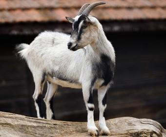 Charakterystyczny dźwięk z czołówki Netfliksa mógł być… beczeniem kozy?