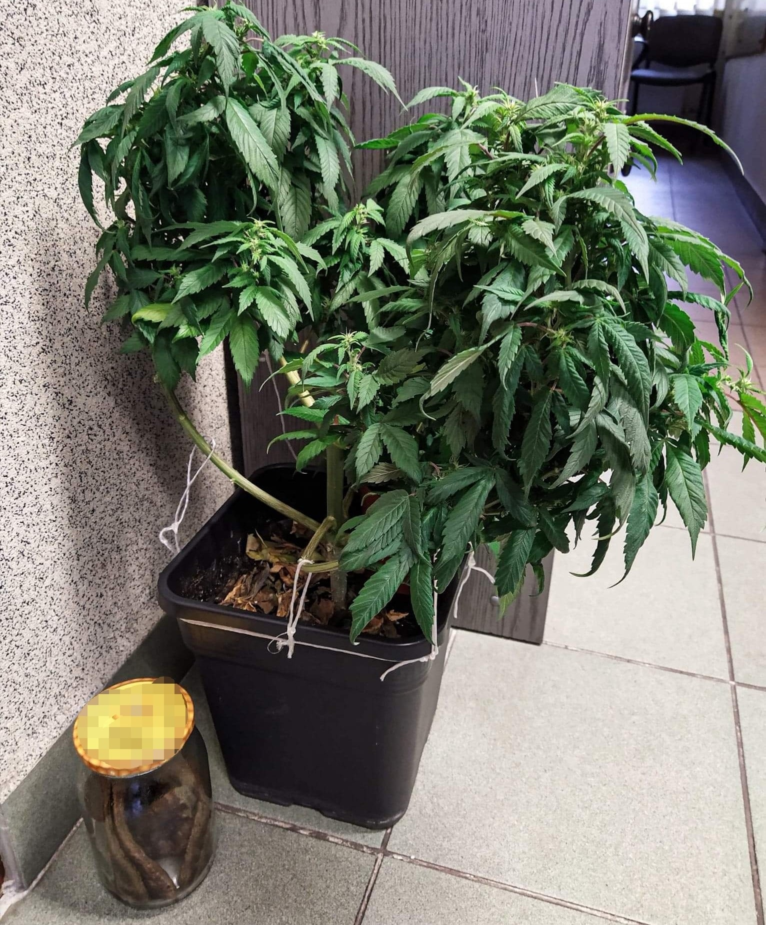 nalesniki_marihuanen_02