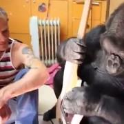 Flea uczy grać gorylicę Koko na gitarze basowej