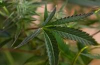 Naukowcy twierdzą, że marihuana pomaga w walce z COVID-19
