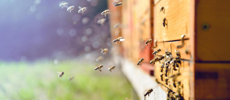 Pszczoły gotują szerszenia żywcem
