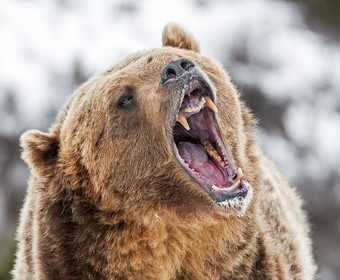 Horror w Rosji. Niedźwiedzie rozszarpały 11-letnie dziecko