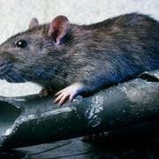 Szczur - zdjęcie poglądowe
