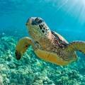 Koronawirus pomocny dla zwierząt. Zagrożone wyginięciem żółwie wyszły na plaże [WIDEO]