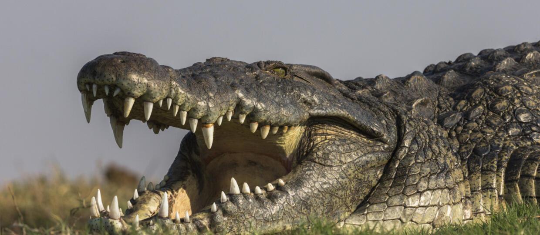 krokodyl nilowy