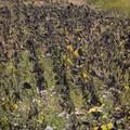 pole uschniętych słoneczników