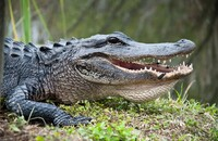 Mężczyzna hoduje aligatora, bo ten pomaga mu walczyć z depresją