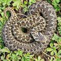 """Naukowcy odkryli węża, którego nazwali na cześć Salazara Slytherina z """"Harry'ego Pottera"""""""