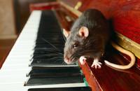 szczury pod wpływem narkotyków wolą jazz od muzyki klasycznej