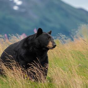 Niedźwiedź wprosił się na piknik Przyjęli go jak członka rodziny