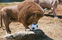 Nierozłączne lwy z zoo zostały uśpione w tym samym czasie. Żeby nie umierały z tęsknoty