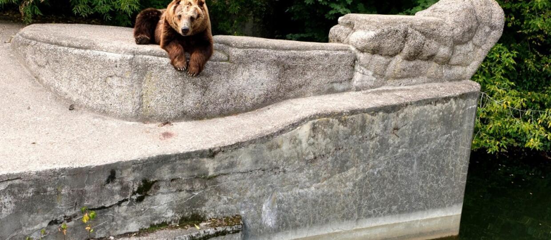 niedziwedzica na wybiegu warszawskiego zoo