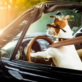 pies prowadzący samochód