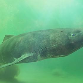 Poznaliśmy najdłużej żyjące kręgowce na świecie. To rekiny, które dożyją nawet 500 lat