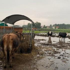 krowy na zalanym terenie