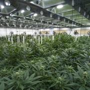 Sami przyznali się policjantom, że uprawiają w lesie narkotyki
