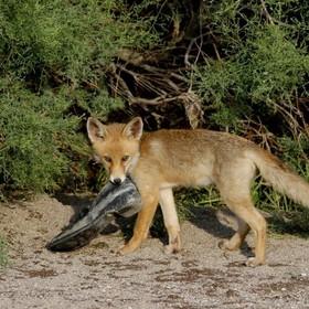Szczwany lis ukradł mieszkańcom Berlina ponad 100 par butów. Aż złapano go na gorącym uczynku