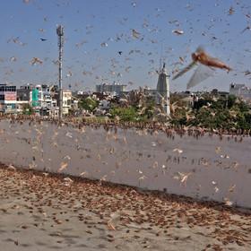 Szarańcza w Indiach