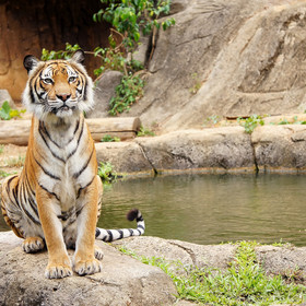 Tygrys ma koronawirusa