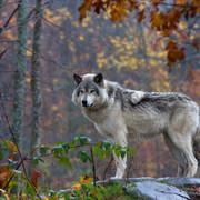Wilki z Czarnobyla mogą przenosić swoje zmutowane geny