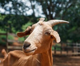 Spotkali prawdziwego Pudziana wśród kóz. Zwierzak przeraża i zachwyca jednocześnie [WIDEO]