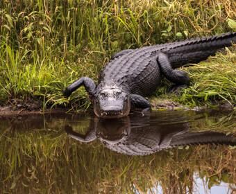 Zrobił sobie selfie z krokodylem. Przeżył spotkanie