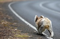 koala na drodze