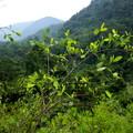 plantacja koki