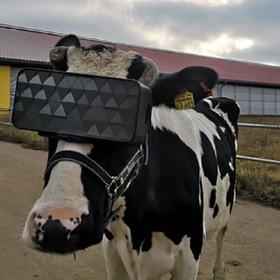 krowa w goglach VR