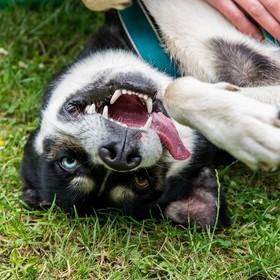 pies z heterochromią